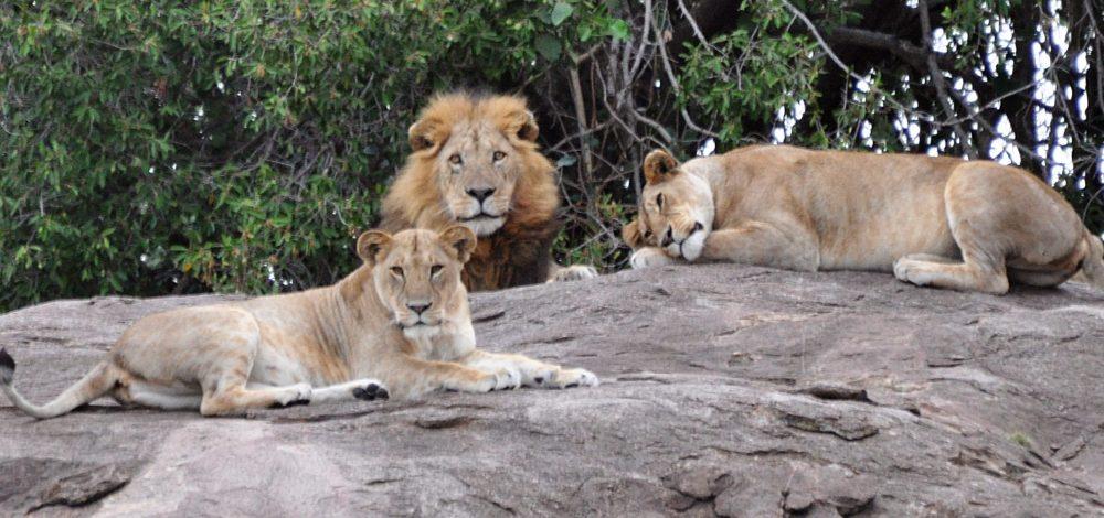 Lion_Pride_leader